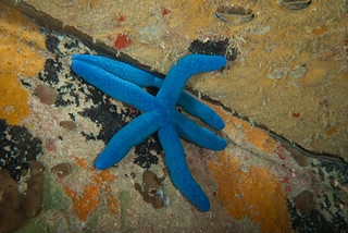 Linckia laevigata sea star - trying to be inconspicuous