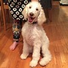Crazy eyes.  #sherlockthespoodle #standardpoodle 20 weeks