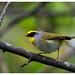 Black-faced Warbler by shivanayak