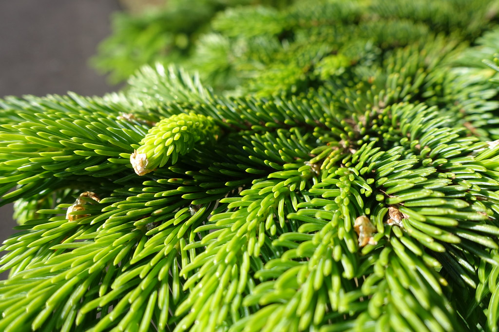 Fir or Pine Needles