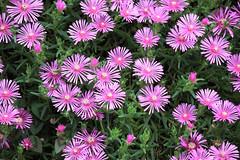 marguerite daisy(0.0), bee balm(0.0), dorotheanthus bellidiformis(1.0), annual plant(1.0), flower(1.0), plant(1.0), karkalla(1.0), flora(1.0), ice plant(1.0), petal(1.0),