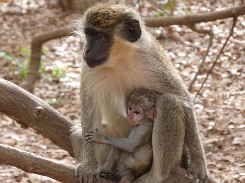 Mona con su cría en el Bijalo National Park (Gambia)