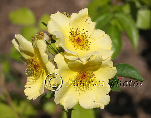 Peggy Rockefeller Rose Garden (53) by moelynphotos