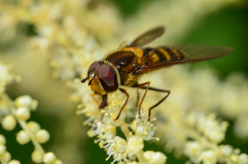 <p>Syrphidae<br /> Hicks Lake, British Columbia, Canada<br /> Nikon D5100, 105 mm f/2.8<br /> June 8, 2013</p>
