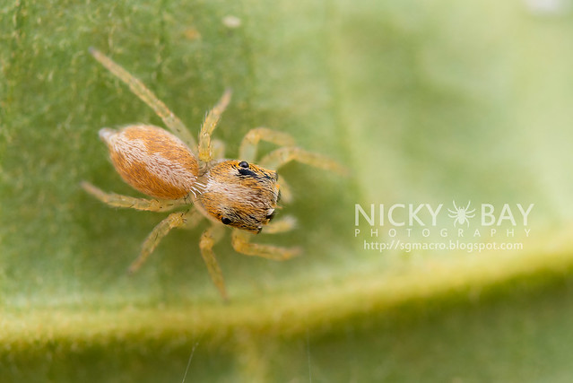 Jumping Spider (Salticidae) - DSC_6376