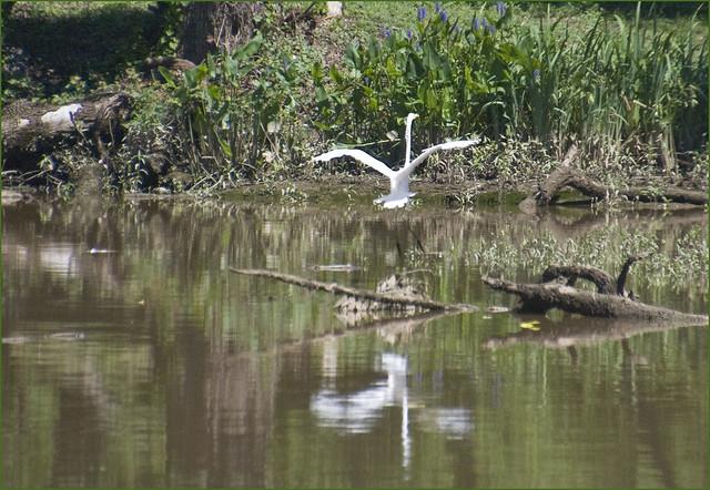 Egret Landing No 2 Kenilworth Aquatic Gardens Anacostia Avenue Ne Washington Dc June 2013