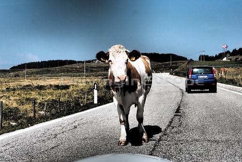 道路上で放牧牛と遭遇
