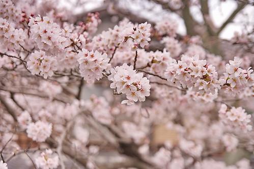 【写真】2013 桜 : 哲学の道/2018-12-24/IMGP9241