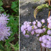 Small photo of Ageratum conyzoides, the invasive Billygoat Weed