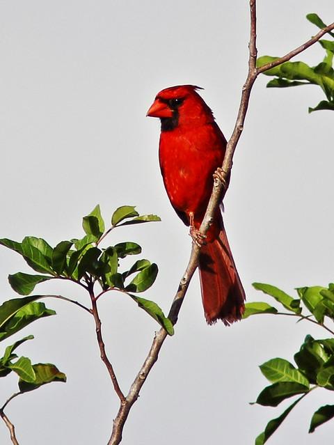 Northern Cardinal 20130720