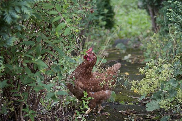 Hen   : Test Shot Nikon AF Nikkor 28-70mm f/3.5-4.5  @ 62mm ( 93mm on DX Crop camera ) : Nikon D300s