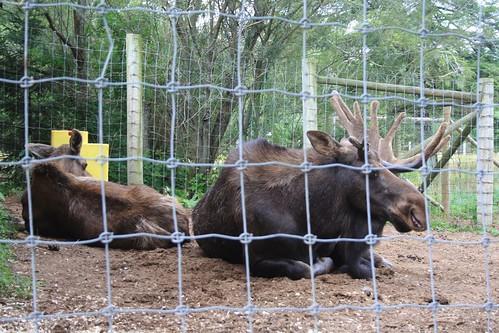 One Antler Moose