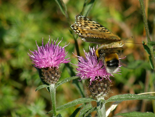 Bumble bee and dark green fritillary