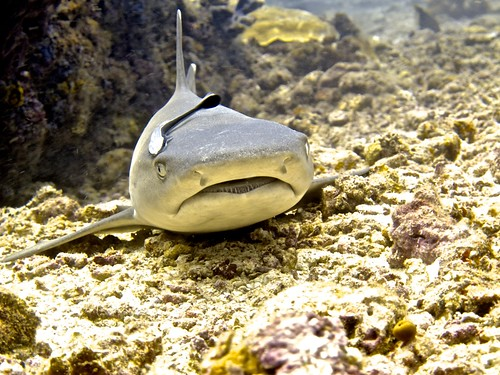 reef shark, Sipadan