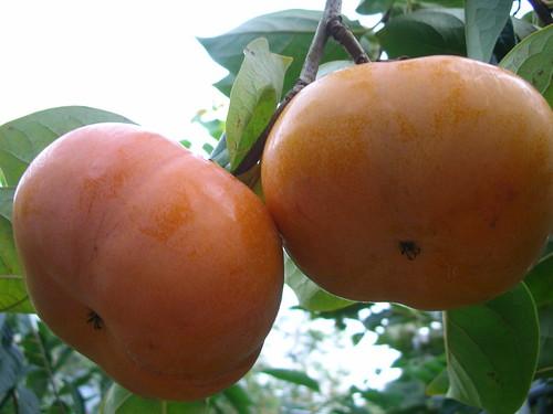 柿子紅了 by 喜果農園