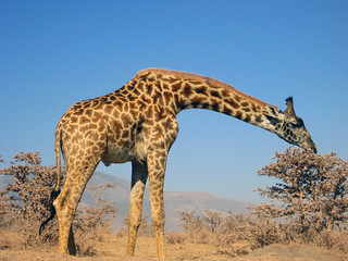 Giraffe (auf dem Weg nach Serengeti)