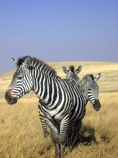 Zebras (Ngorongoro)