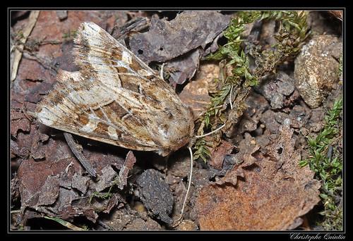 Noctuelle de Duméril (Luperina dumerilii)