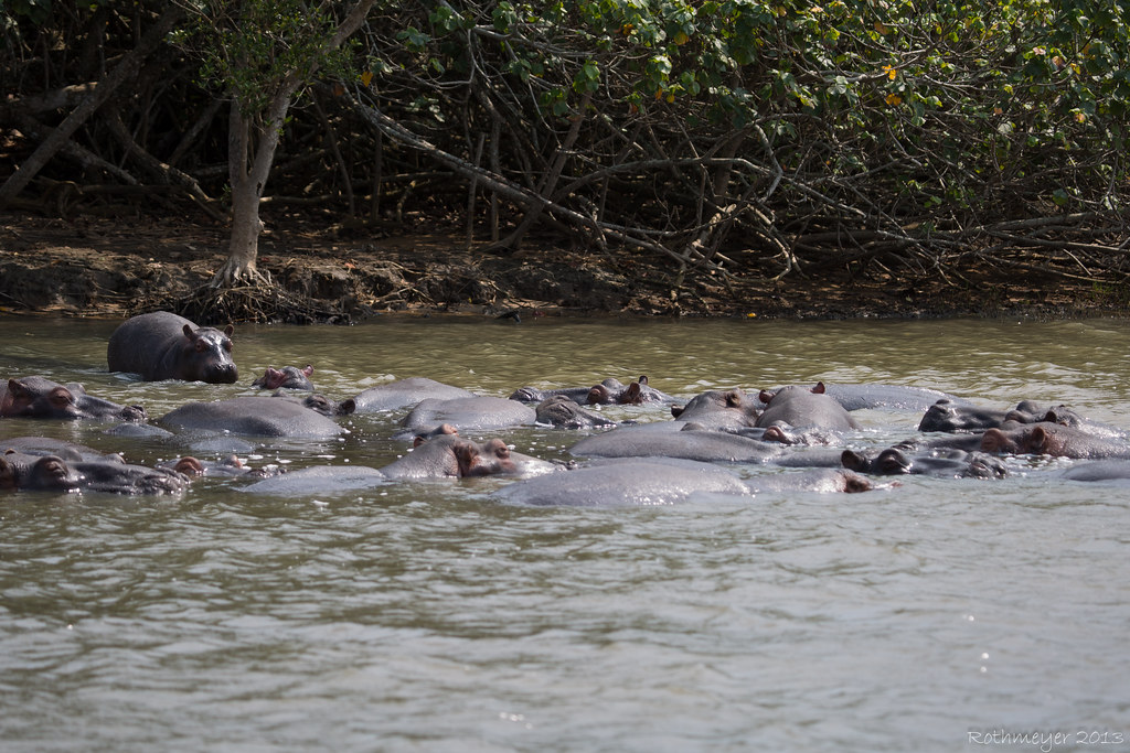 St. Lucia Hippos