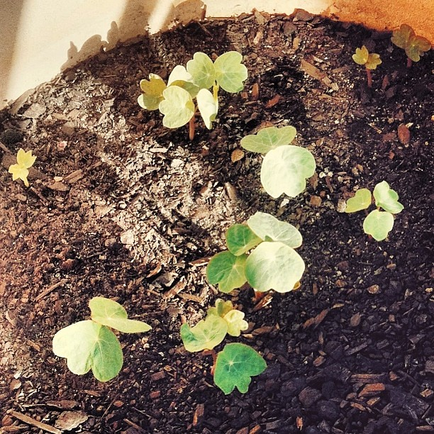 Nasturtiums are coming along!