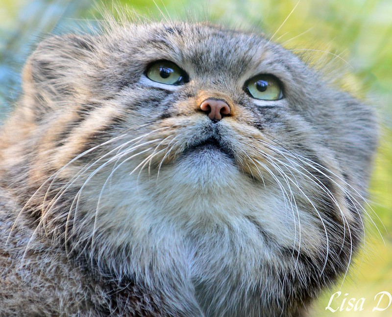 pallas cat face 1