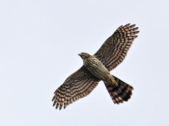 Cooper's Hawk 2-20131113