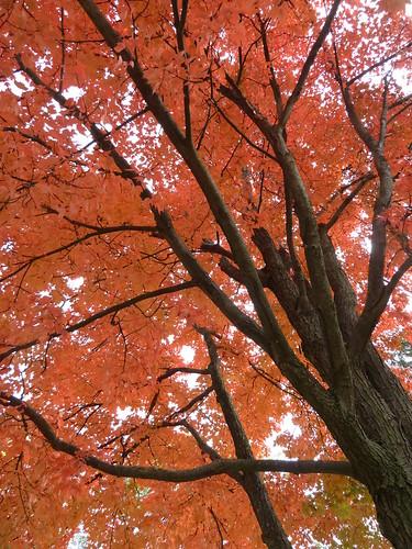 Wheaton, IL, Maple Fall Foliage (in Explore, 11/14/13 #22)