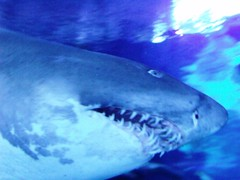 animal, fish, great white shark, shark, marine biology, lamniformes, underwater, requiem shark,