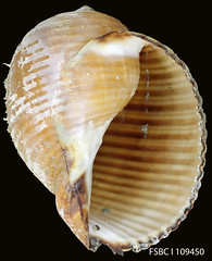 clam(0.0), seafood(0.0), food(0.0), clams, oysters, mussels and scallops(0.0), conch(1.0), animal(1.0), sea snail(1.0), molluscs(1.0), seashell(1.0), conch(1.0),