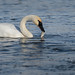 Swan Eating Fish_42668.jpg