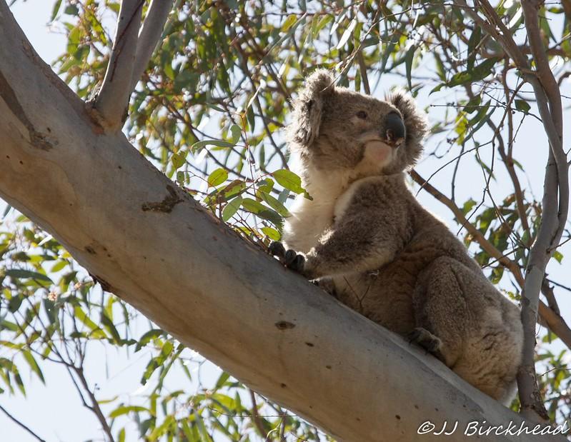 Koala J B.