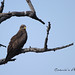 Yellow-billed Kite / Geelbekwou by Coenie's Photography