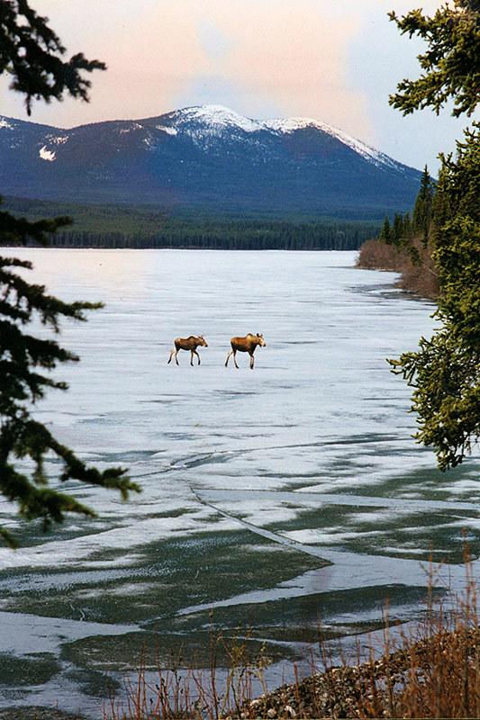 Moose crossing Germansen Lake as the ice is breaking, Manson Creek, Omineca, British Columbia