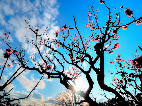 sunset flower tree japan plum 大阪 夕陽 osaka 梅