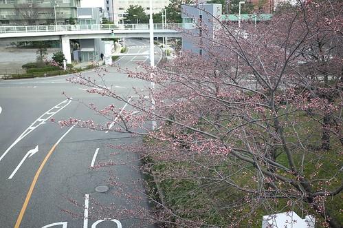 sakura week