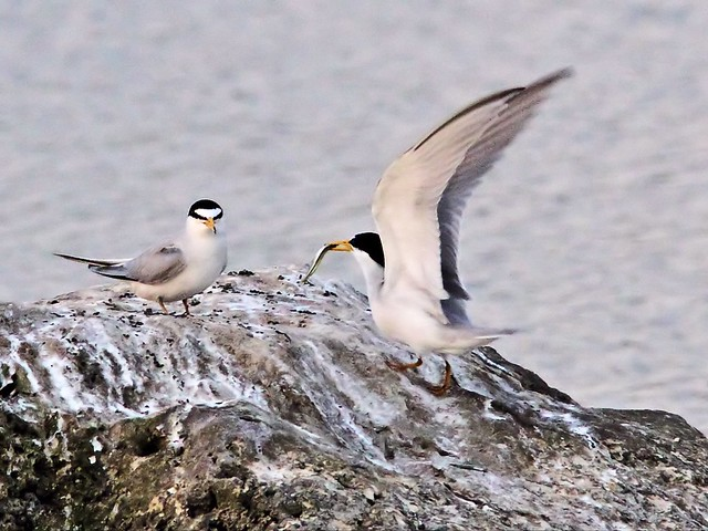 Least Tern female refuses fish from intruder male 25- 20140428