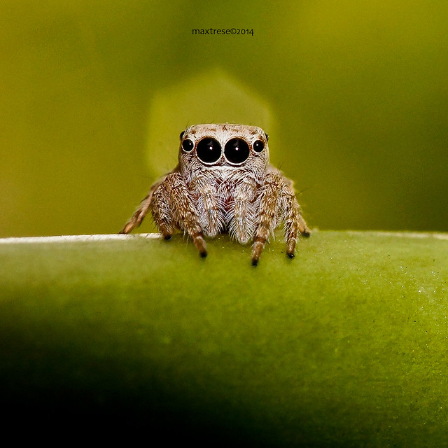 Baby jumping spider at rest