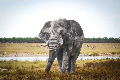 Elephant portrait, Etosha NP