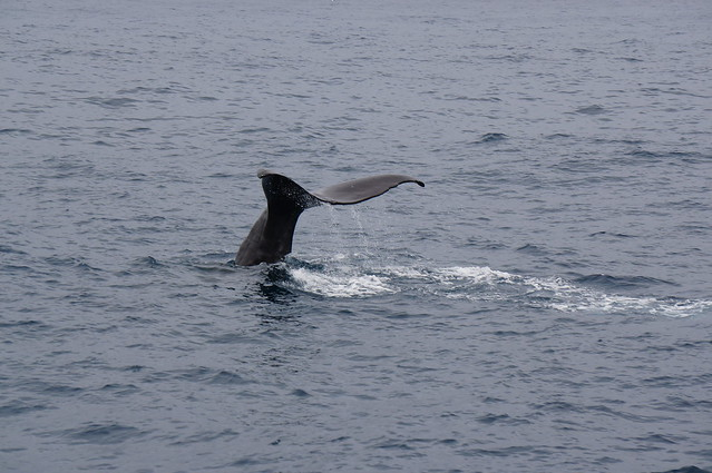 Sperm whale tail as it dives to feed