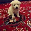 Evimizə qonaq gəlib. Adı #Beka-dır :) qonağı görən #Pisi evdən didərgin düşüb :) #puppy #sweetyhome