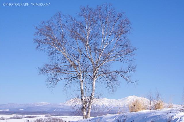 白樺と大雪山