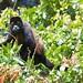 Howler Monkey by jukerr