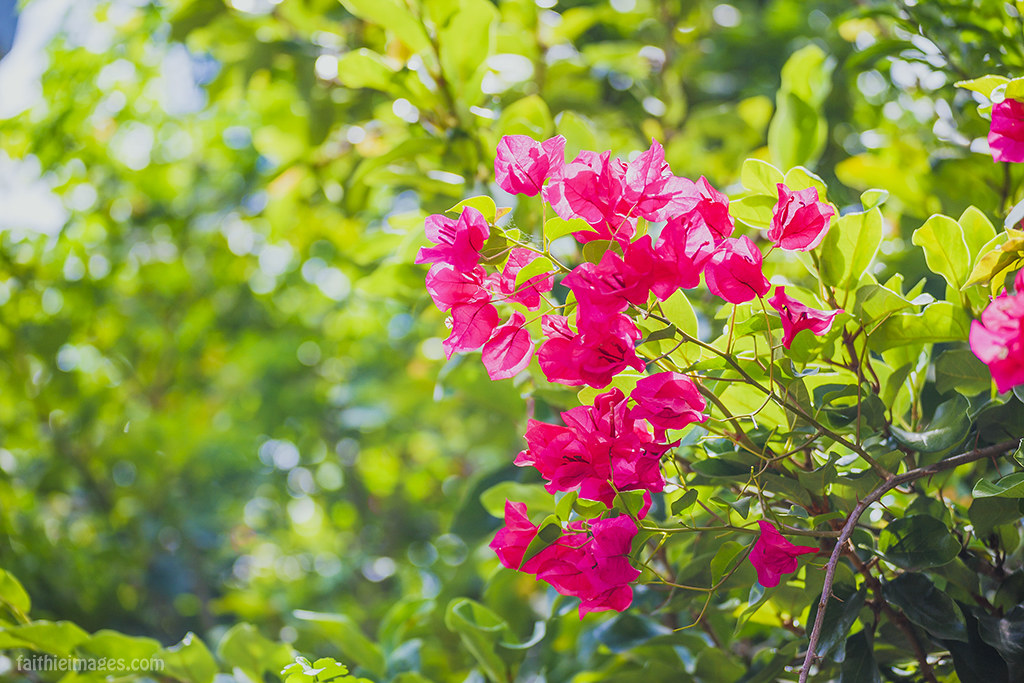 pink bougainvillea in the sunshine