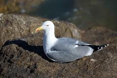 Gaivotas (Seagull)