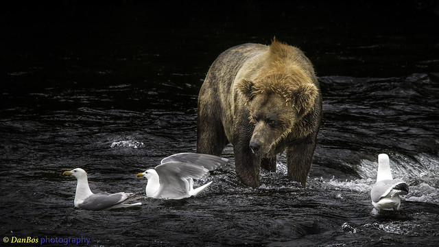 Bear & Gulls competition