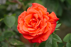Rose de Gerberoy - Photo of Buicourt