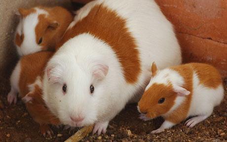 guinea-pig_1614799c
