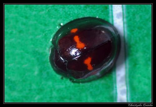 Coccinelle des bruyères (Chilocorus bipustulatus)