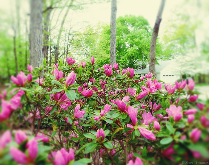 dreamy azaleas