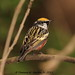 Chest Nut Sided Warbler by DBartesJr.